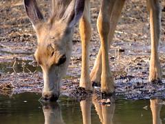365-2-142 Deer refreshing (benlarhome) Tags: canada calgary alberta provincialpark fishcreek fishcreekpark flickraward gnneniyisithebestofday