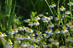 camomilla (ecordaphoto) Tags: verde green nature nikon colore natura giallo fiori fiore colori prato dx chamomile camomilla yellov 55300 d5100