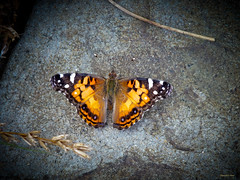 A Painted Lady in Hiding (Hannah Underhill) Tags: abstract macro nature butterfly insect wings natural memphis tennessee