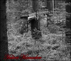 Baumstumpf (hubert_hamacher) Tags: eifel weiss baum schwarz fichte tannenbaum pilz tanne schwarzweis dreilgerbachtalsperre