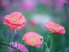 dancing poppies (Betty Jo ) Tags: pink flowers texture nature gardens garden textures poppy poppies