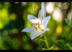 Easter lily (netozeme) Tags: summer sun flower yellow bokeh