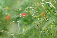 Natural poem (nathaliedunaigre) Tags: flowers wild green nature field fleurs bokeh wildlife vert wildflowers prairie champ sauvage wildgrass herbes herbesauvage