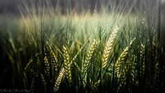 CORNFIELD (Oliver Plagge) Tags: green fog nebel bokeh natur tau raureif wassertropfen