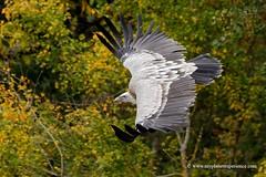 Griffon Vulture (My Planet Experience) Tags: wild bird animal inflight wildlife flight conservation raptor species vulture endangered eurasian biodiversity griffon gypsfulvus wwwmyplanetexperiencecom myplanetexperience