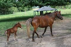 Mollie and foal (Muzik Hounds) Tags: pony horse mini foal colt