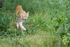 Lynx 2016-06-23-0394 (bzd1) Tags: animals cats lynx roofdieren eurasianlynx nature animal mammal carnivore felidae