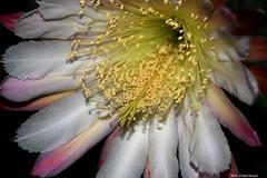 ER 160624 (36) (Paolo Bonassin) Tags: flowers cactus cactaceae cereus succulente cereusperuvianus cactacee