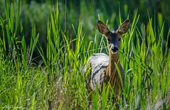 Roe deer (- Man from the North -) Tags: morning green nature grass animal finland mammal lightsandshadows nikon wildlife naturallight deer curious tamron westcoast roedeer naturephotography wildife ostrobothnia wildlifephotography nikond7000 finnishwildlife tamron150600mmf563spdivcusd