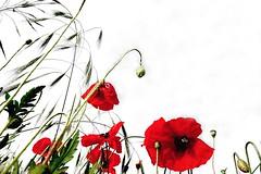 P P P I E S   (Petra U.) Tags: rot outdoor feld gimp poppies weiss mohn ilovepoppies sonydscrx100