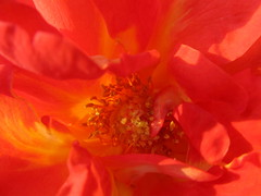 Rose: fire within (quirkyjazz) Tags: pink summer orange plant flower petals blossom outdoor arboretum iowa bloom blush dubuque rosy 2011