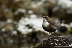 Dipper (Louise Morris (looloobey)) Tags: aq7i7620 dipper scotland april2016 scott nigel alan river stones dogbed snow sun cold hail storm