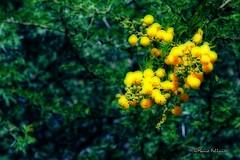 Acacia dealbata (Mimosa) (Mario Pellerito) Tags: italy flower tree green yellow canon garden eos 50mm italia 14 sicily mimosa palermo acacia sicilia sicilie dealbata 60d