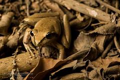 Wilcox's Frog (J.P. Lawrence Photography) Tags: hylidae vertebrates travel spring 2016 australia litoria anura wilcoxii amphibians queensland amphibia amphibian anuran australia2016 frog frogs herp herpetology herps hylid litoriawilcoxii salientia spring2016 treefrog vertebrata vertebrate wilcoxsfrog
