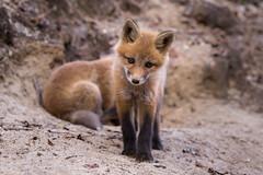 Curiosity is the fox (JD~PHOTOGRAPHY) Tags: nature wildlife fox foxes wildanimals younganimals foxkit northamericanwildlife curiousfox youngfox