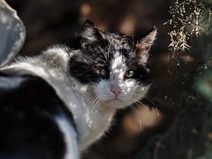 Street cat 142 (Yalitas) Tags: pet cats cat canon kat feline chat kitty gato felino katze katzen kot kedi kass gatta streetcat kotka  kocka  katte  katzchen kottur