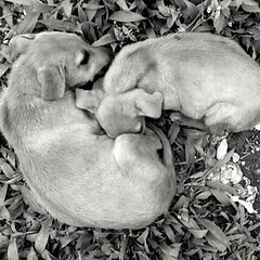 Work, Warm Pups (drinkupixels) Tags: pups pup monochrome mobilephotography phone camera snapchat story documenting documentary warmth 16 photography animalphotography pet pets cosy siblings