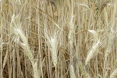 Wheat ears (Micheo) Tags: yellow spain song sting amarillo granada verano fields cereals cereales cancion campos trigo fieldsofgold cosechas