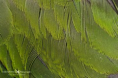 004_2030 (NZ Exposed Photography by Chris Helliwell) Tags: newzealand macro birds canon feathers zealandia redcrownedparakeet chrishelliwell nzexposed