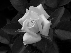 Our Thoughts and Prayers are with the victims and families in Nice, France (NaturewithMar) Tags: rose blackandwhite blackbackground tribute france monochrome nikoncoolpix l330 summer