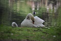 Beautiful swan family #swan #family #cygnet #animalphotography #swanlake #photographylondon #londonphotography #mylondon #londonmyway #experimentalphotography (Biig_Jay) Tags: family swan cygnet swanlake animalphotography experimentalphotography mylondon londonphotography photographylondon londonmyway