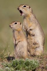 Richardson's Ground Squirrel - Urocitellus richardsonii - Grasslands National Park, Saskatchewan, Canada (Paul B Jones) Tags: baby canada nature animal mammal rodent photo squirrel image wildlife young mother picture telephoto parent photograph saskatchewan offspring richardsonsgroundsquirrel grasslandsnationalpark flickertail ef800mmf56lisusm picketpin canoneos1dmarkiv urocitellusrichardsonii