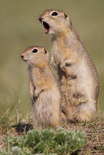 Mother Richardson's Ground Squirrel - Urocitellus richardsonii - Grasslands National Park, Saskatchewan, Canada