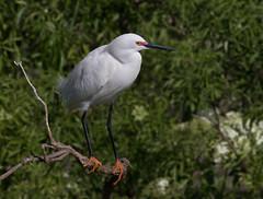 Yellow Slippers (SDRPhoto321) Tags: white snowy egret whitebirds