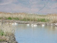 DSCN1857 (Jenny Lynne Semenza) Tags: bird americanwhitepelican bearriverrefuge