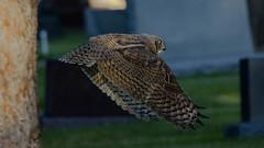 Great Horned Owl In Flight (matthewschonert) Tags: bird nature cemetery graveyard flying wildlife great birding flight owl horned