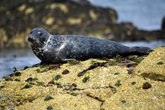 Grey seal (mothclark62) Tags: trip sea wild tourism nature st swimming swim mammal island grey islands coast boat marine rocks wildlife shoreline tourist tourists snorkeling seal seals martins eastern mammals isles scilly scillies pinipeds piniped menawethan