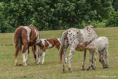 Breastfeeding.... (Ciminus) Tags: horse nature nikon wildlife breastfeeding cavalli naturesubjects nikond810 afsnikkor70200f28edvrii ciminodelbufalo