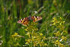 Distelfalter IMG_4561 (pappleany) Tags: falter insekt outdoo vanessacardui distelfalter schmetterlin pappleany tagesfalter