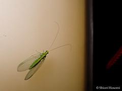 Chrysoperla nipponensis (Shiori Hosomi) Tags: june japan night tokyo nocturnal insects neuroptera 2016    chrysoperla  chrysopidae  noctuary  noctivagant 23   entomon