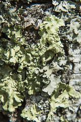 Lichen (mhyrdin) Tags: macro bonnette closeuplens