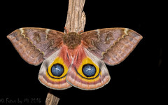 Female Io Moth, Automeris io (Fabricius) - Cuivre River State Park, Troy, MO (Fotos by Mí) Tags: nikond500 nikon fotosbymi miguelacosta missouri missouriphotographers moths iomoth night thinktankstreetwalkerpro macro closeup nissindi866markii nikkor105mmvr cuivreriverstatepark sherwoodforestcamp insects nature manfrotto055xprob adobecreativecloudlightroom wings rogueflashbender
