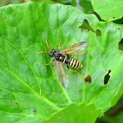 Megalodontes klugii ??? (AndyorDij) Tags: insects insect empingham england rutland uk unitedkingdom 2016