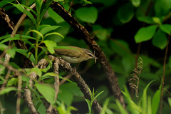 Red-eyed Vireo....Explored (l_dewitt) Tags: redeyedvireo brushpileimages brushpilewildlife redeyedvireophotos redeyedvireoimages