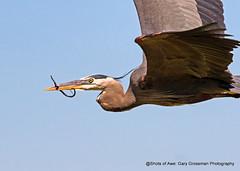 Snake Snack (Gary Grossman (out taking pictures)) Tags: summer heron snake sunny pacificnorthwest greatblueheron ridgefield wildlifephotography garygrossmanphotography shotsofawe ridgeiflednationalwildliferefuge