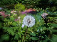 Dandelion swirl (Cliff Potts) Tags: vintage xpro fuji m42 pentacon manualfocus modifiedlens pentacon29mm