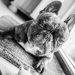 grumpydog (Anophelez) Tags: bw dog white black love cat square olympus hund grumpy haustier quadrat quadratisch grumpycat bulldogge schwarzweis grumpydog g20f17 olympusem10markii
