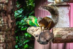 that's Brazil (cy) Tags: brazil bird nature brasil squirrel parakeet esquilo passaro periquito harmonia