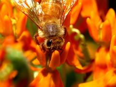Honey Bee on Orange Milkweed (thatSandygirl) Tags: ohio summer orange flower macro green nature animal june insect flora colorful warm bright blossom bokeh bee bloom milkweed honeybee mountvernon butterflyweed raynox dcr150 canonpowershotsx10is