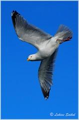 Dive II (lukiassaikul) Tags: wildlifephotography wildanimals urbanwildlife wildbirds largebirds birds seagull herringgalls sky fly flight wings bluesky