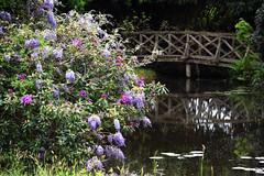 The Manor House Open Garden - Surrey (Mark Wordy) Tags: bridge water pond surrey wisteria ngs nationalgardensscheme haslemere opengarden themanorhouse
