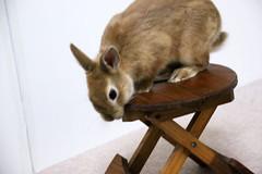 Ichigo san 229 ICHIGO san  (mensore) Tags: family pet brown cute rabbit bunny dwarf netherland ichigo   netherlanddwarf