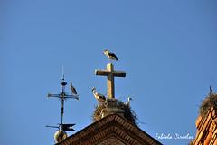 cigeas en Boadilla (claverinza) Tags: nikon boadilladelmonte cigeas aves pajaros cruces nidos iglesias cielo