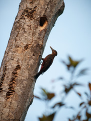 Female Pryer's woodpecker  - Northern Okinawa (Okinawa Nature Photography) Tags: tree woodpecker endangered noguchi gera 70200mm kunigami nikond90 nikonoutdoors sapheopiponoguchii pryerswoodpecker dendrocoposnoguchii okinawanaturephotography shawnmmiller2012 natureofokinawa shawnmmillerphotography birdsofokinawa shawnmmiller2013 birdsoftheryukyus sapheopipo noguchii okinawanwoodpecker noguchigera