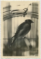 A spirit confined (date and location unknown) (liquidnight) Tags: old blackandwhite bw pets monochrome beauty birds animals vintage photo bars solitude alone bokeh quote antique snapshot profile cage collection caged photograph perch vernacular dreamy isolation melancholy captive solitary sorrow stephenking redemption confined hayworth shawshank differentseasons rita ritahayworthandshawshankredemption