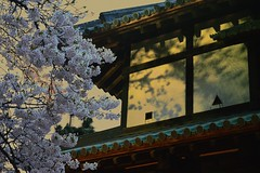 Cherry tree of dusk (erikomoket) Tags: japan evening nikon explore   hirosaki  soir  japon cerisier   aomoriken  d3200 seeninexplore inandoutofexplore erikomoket